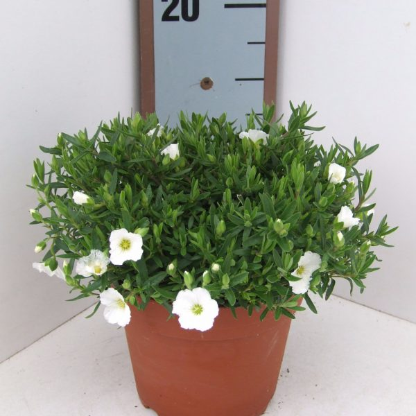 Arenaria Summer White