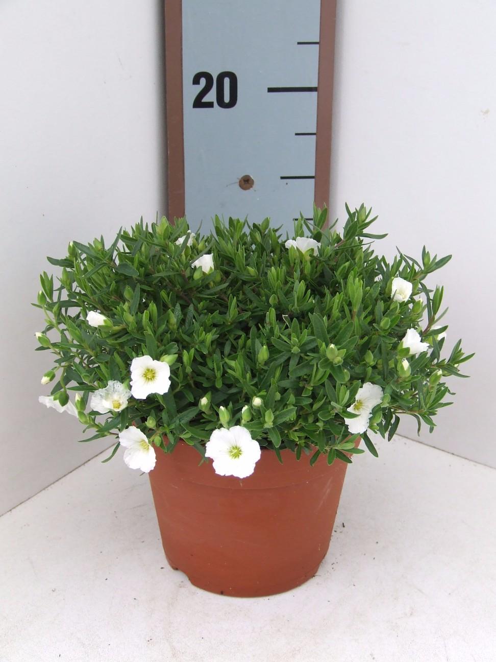 Arenaria Summer White