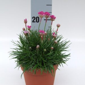 Armeria mar Armada Rose