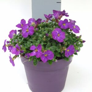 Aubrieta Kitte Blue Color Pot