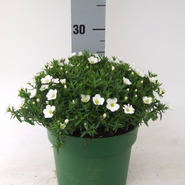 C3 Arenaria Summer White