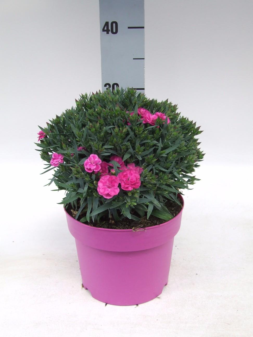 C3 Dianthus Peman