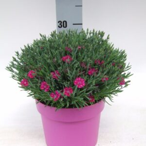 C3 Dianthus Pillow Purple
