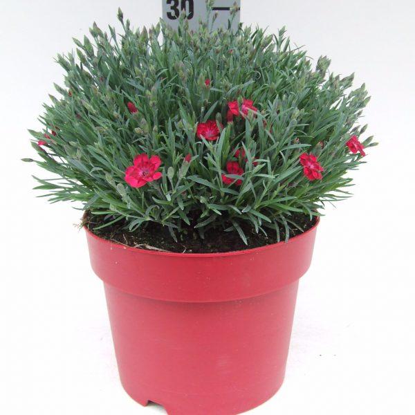 C3 Dianthus Pillow Red