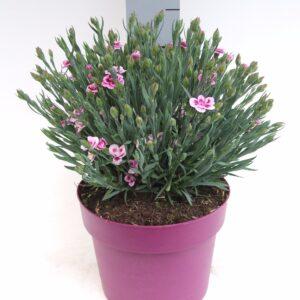 C3 Dianthus Pink Kisses