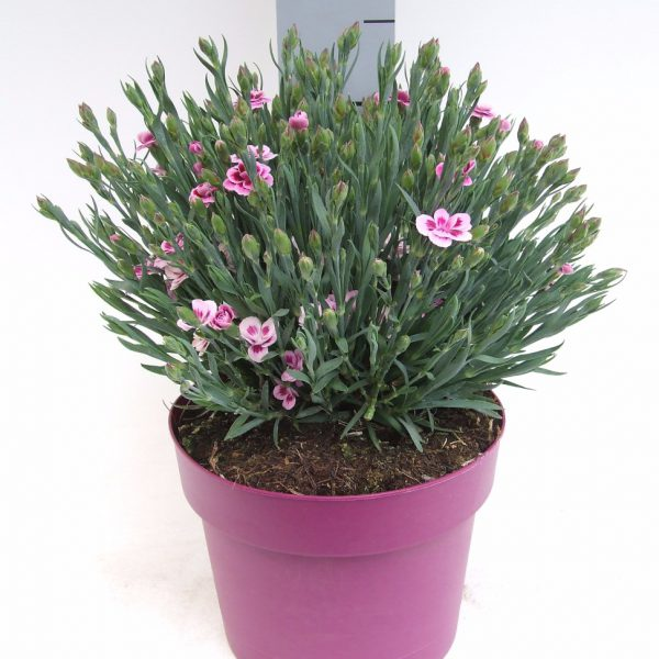 C3 Dianthus Pink Kisses