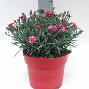 C3 Dianthus Strawberry Cream