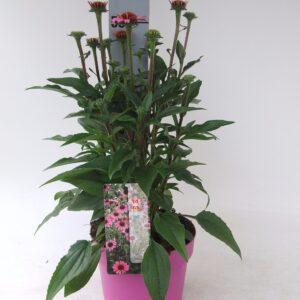 C3 Echinacea Cosy Purpurea