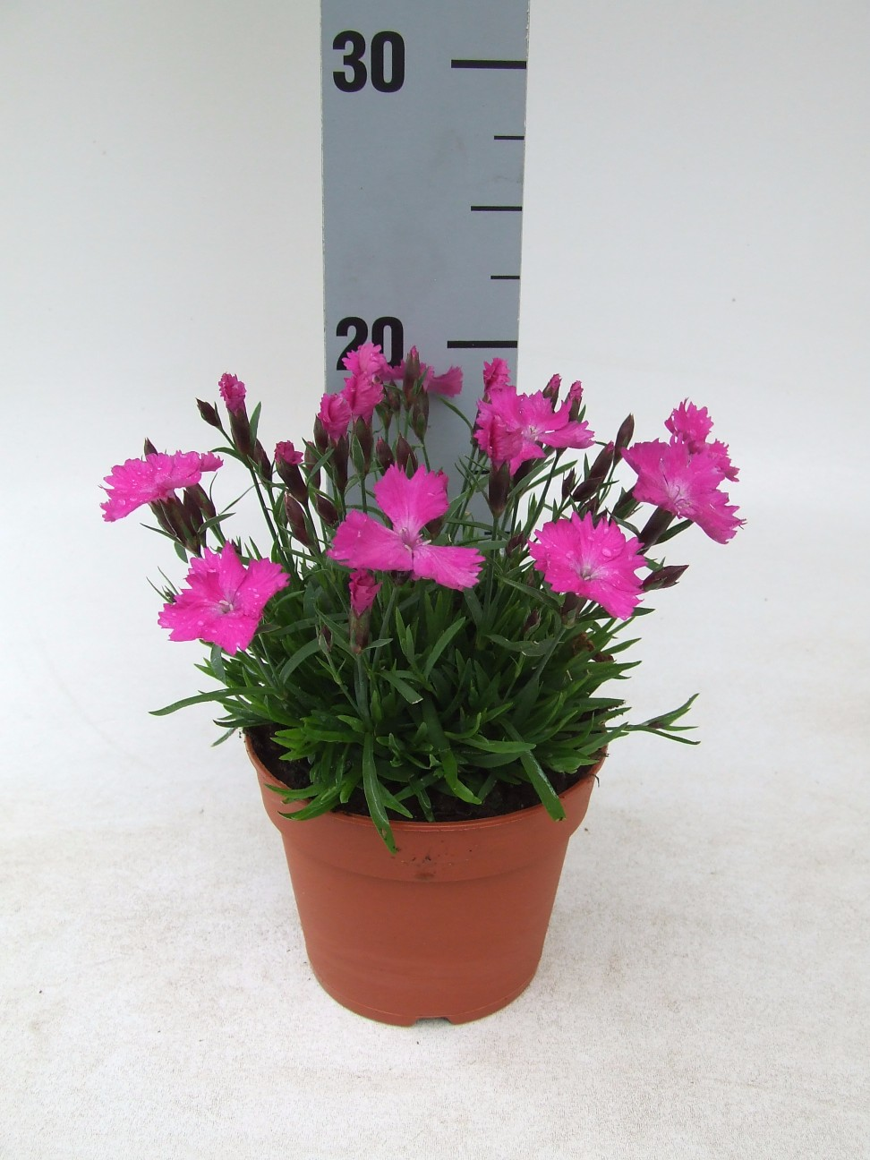 Dianthus Moneybees Garden Pink