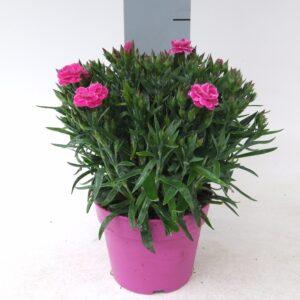 Dianthus Peman Color Pot