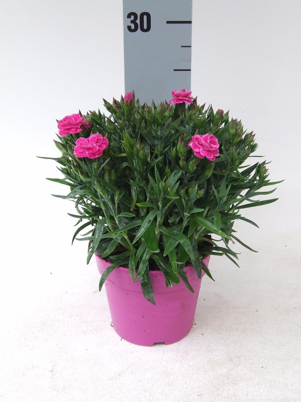 Dianthus Peman
