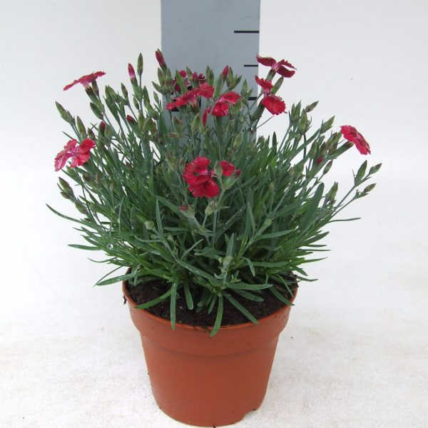 Dianthus Pillow Red