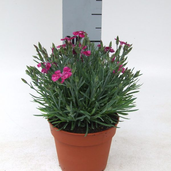Dianthus Pillw Purple