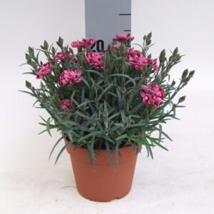 Dianthus Strawberry Cream