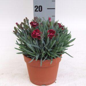 Dianthus Velvet