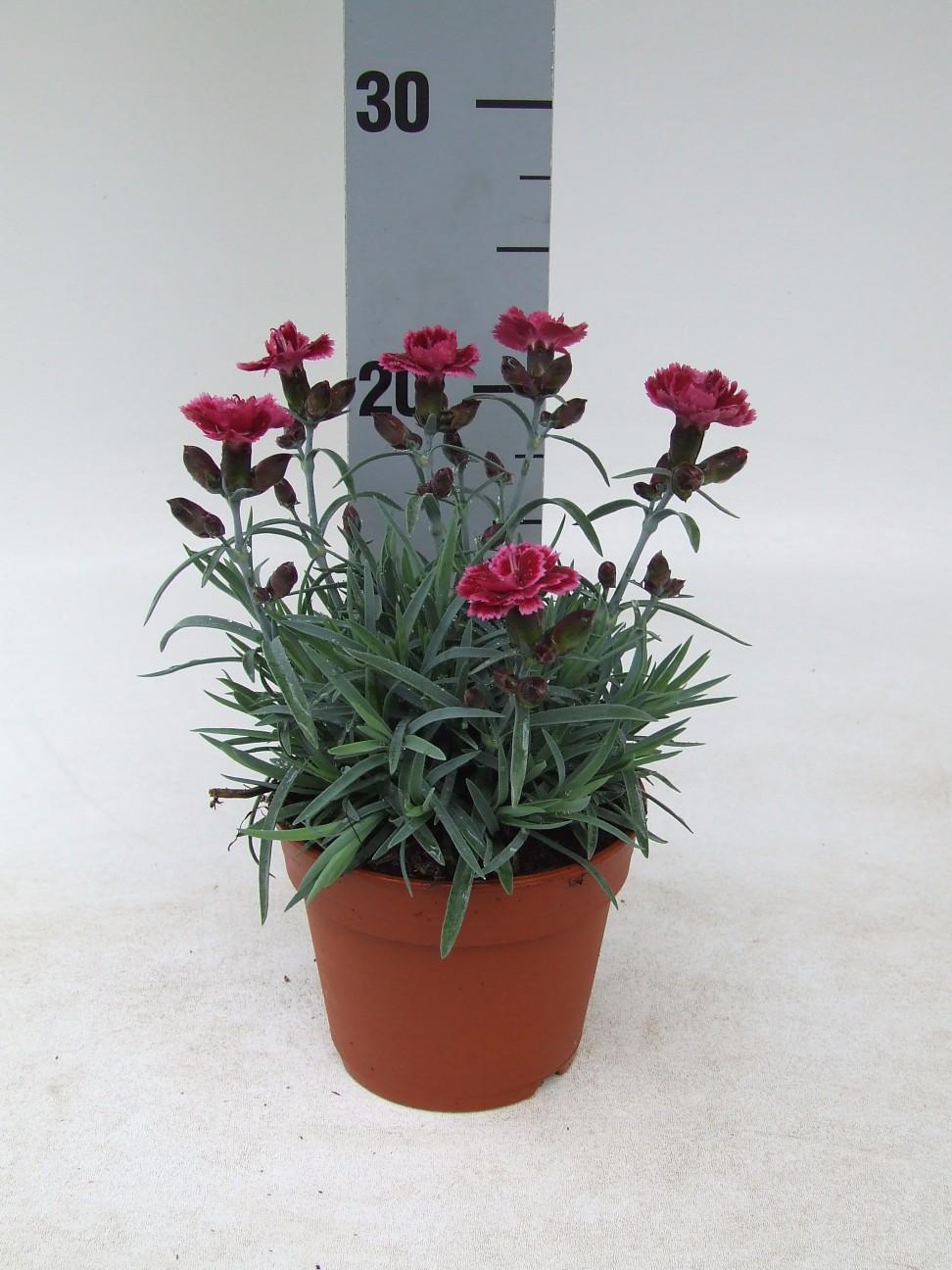 Dianthus diantica Burgundy