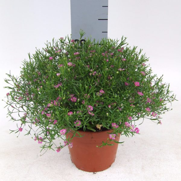 Gypsophila muralis Gypsy Rose
