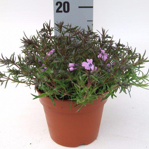 Phlox Purple beauty