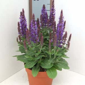 Salvia Sensation Deep Blue