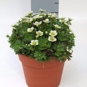 Saxifraga Big White