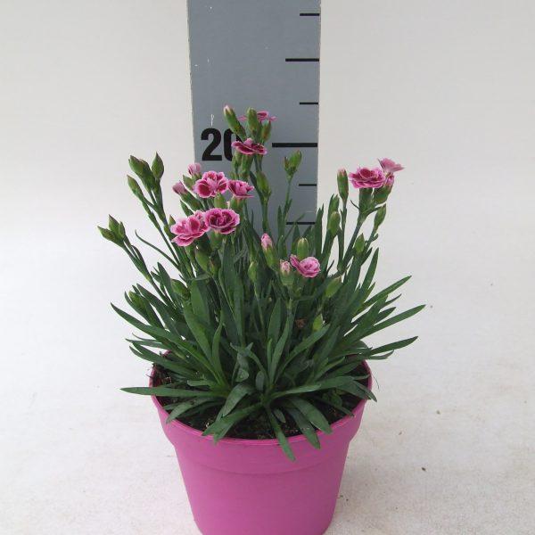 Dianthus Pink Kisses KP