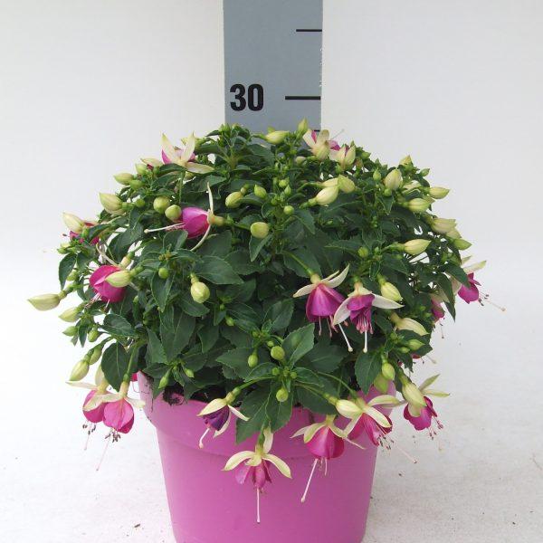 Fuchsia Bella Nora KP C3 (2)