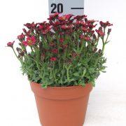 Alpino LTD Deeep Rose