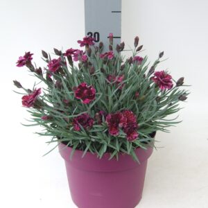 Dianthus Dark Purple