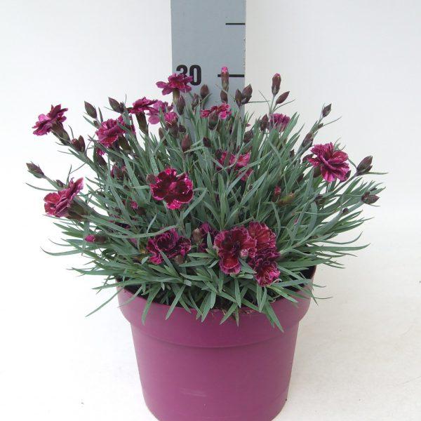Dianthus Dark Purple
